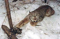 ловушки и ловля зверей с их помощью