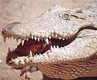 Употребление в пищу мяса аллигаторов и крокодилов, блюда из аллигаторов и крокодилов, экстремальная кухня