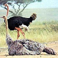 Употребление в пищу мяса страусов и эму, блюда из страусов и эму, рецепт карри из страуса с кориандром, экстремальная кухня