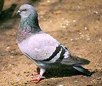 Употребление в пищу мяса певчих птиц и голубей, блюда из певчих птиц и голубей, рецепт голубей с беконом, экстремальная кухня