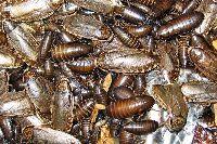 Употребление в пищу тараканов, блюда из таракана, экстремальная кухня