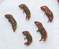 Употребление в пищу мяса крыс и мышей, рецепты и блюда из крыс и мышей, экстремальная кухня