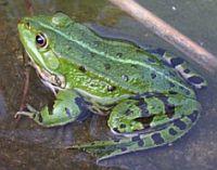 Употребление в пищу лягушек и жаб, блюда из лягушек и жаб, рецепт лягушки во фритюре, экстремальная кухня