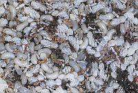 Употребление в пищу муравьев и термитов, блюда из муравьев и термитов, рецепты муравьиных яиц в банановых листьях и термитов в стиле банту, экстремальная кухня